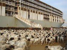 وصول شحنات من المواشي الحية لميناء جدة الإسلامي
