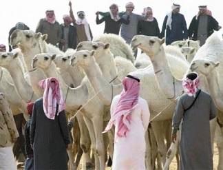 سبعة عروض تشمل ستة ألوان للإبل المشاركة بمهرجان الملك عبدالعزيز للإبل