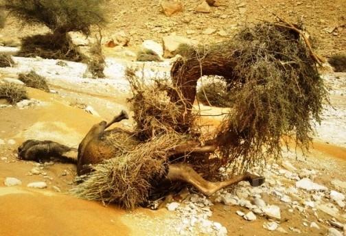 السيول تجرف قطيعاً من الإبل بحوطة بني تميم