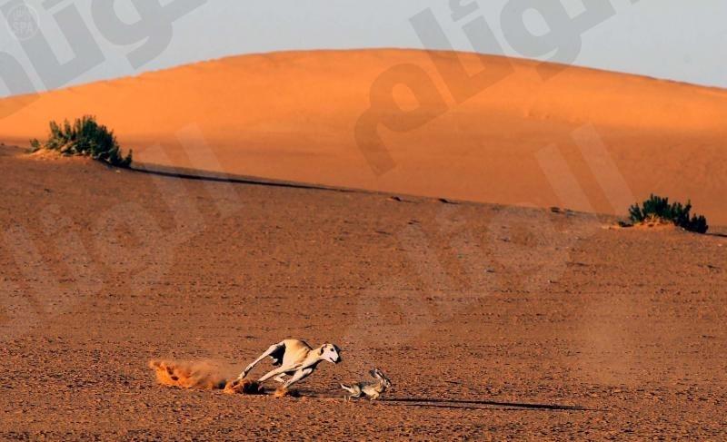 الحياة الفطرية تحدد 17 صفر الحالي بداية لموسم صيد الأرانب البرية لمدة«40» يوماً