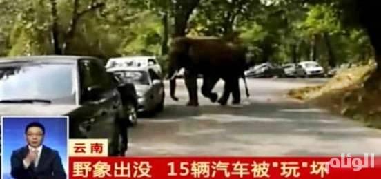 «فيل» تعيس يحطم 19 سيارة بعد خسارته معركة عاطفية بالصين