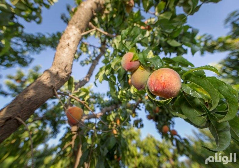 الجوف تزود السوق المحليّة بـ«160» ألف طن من الفاكهة