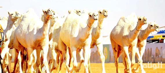 «البيئة» تتولى مهمة فحص الإبل المشاركة بمهرجان الملك عبدالعزيز للإبل