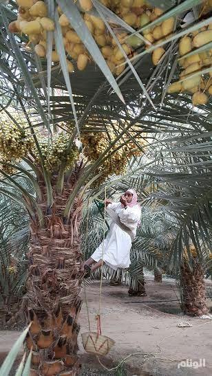 «خراف الرطب» مهنة تتوارثها الأجيال ومهارة تقبل التطوير في وادي الدواسر
