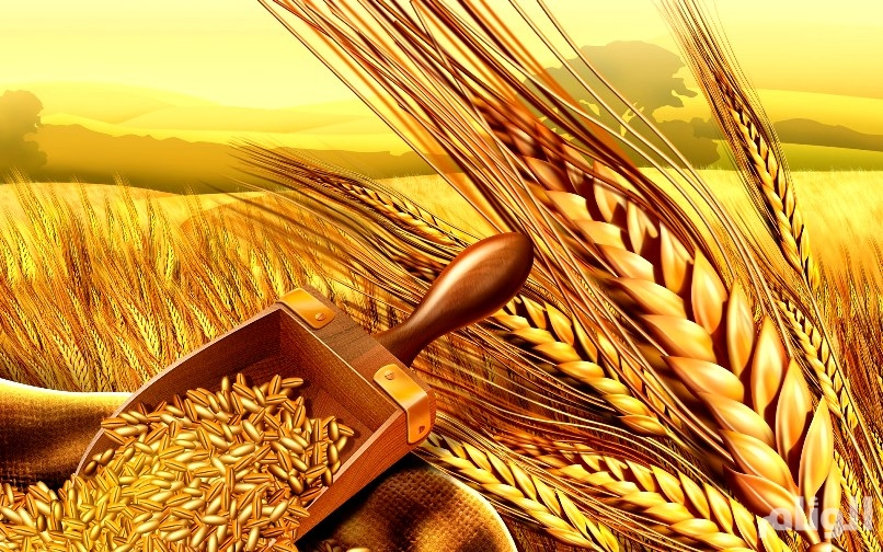 «الحبوب» تعلن آلية شراء القمح من المزارعين المحليين
