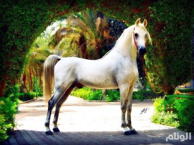 بالصور .. السرطان يقتل أجمل حصان عربي أصيل
