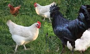 """""""البيئة"""": الـ 24 ساعة الماضية لم تشهد تسجيل أي إصابة بإنفلونزا الطيور"""