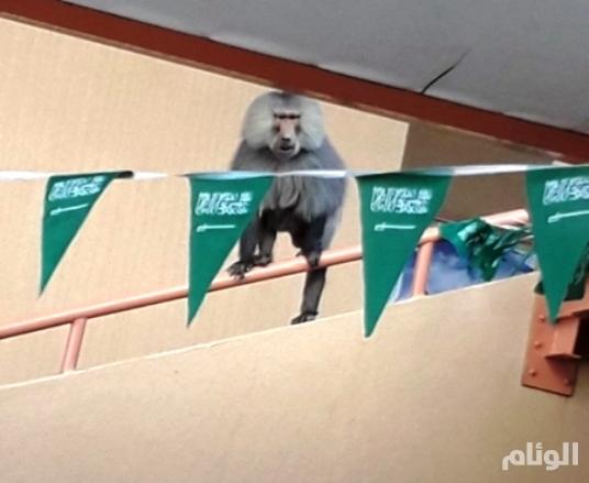 القرود تهاجم السعوديات في مجمع تعليمي