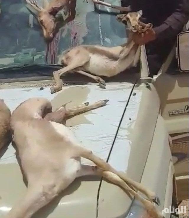 شرطة تبوك تكشف حقيقة فيديو صيد الغزلان