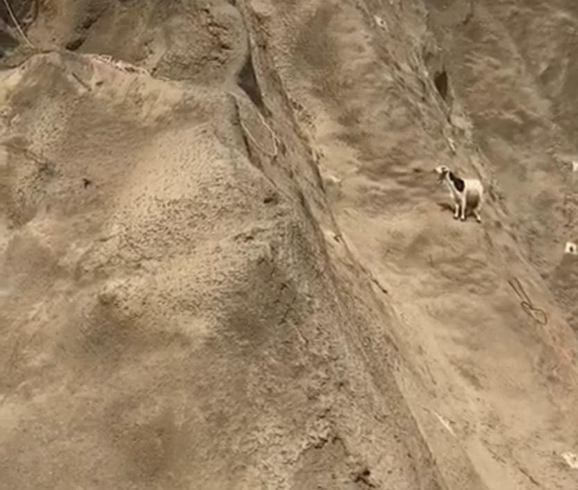 """مكة: الدفاع المدني ينقذ """"ماشية"""" من الهلاك بمنحدر صخري"""