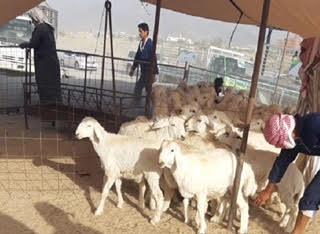 بالصور: مصادرة أكثر من 120 رأساً من الأغنام بمكة