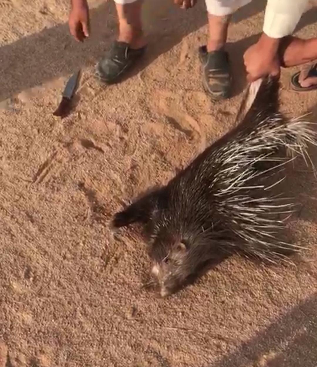 هواة البر يصطادون حيوانات مفترسة ويصنعون منها وجبتهم