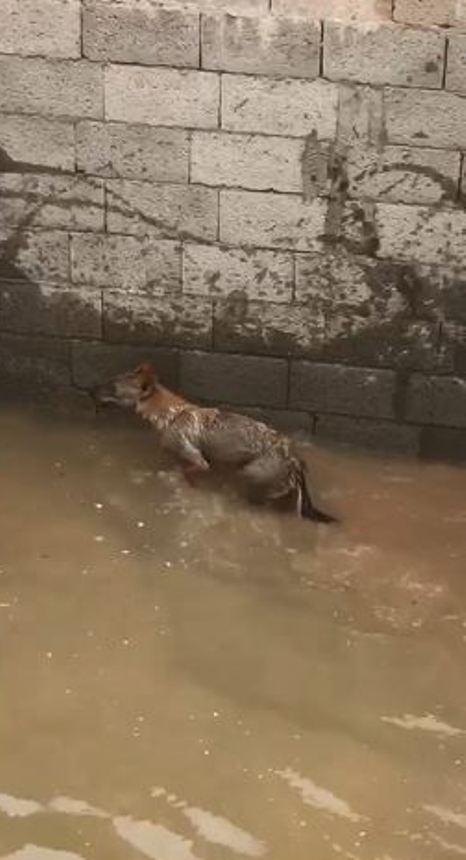 مواطن يتفاجأ بذئب في خزان مياه تحت الإنشاء