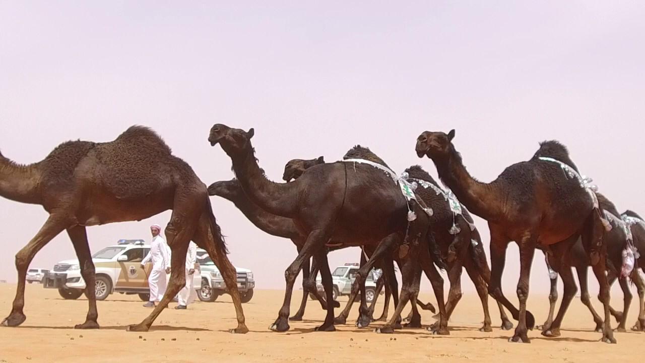 الأميرة سيرين بنت عبدالرحمن تمثل السيدات للمشاركة في مزاين الإبل