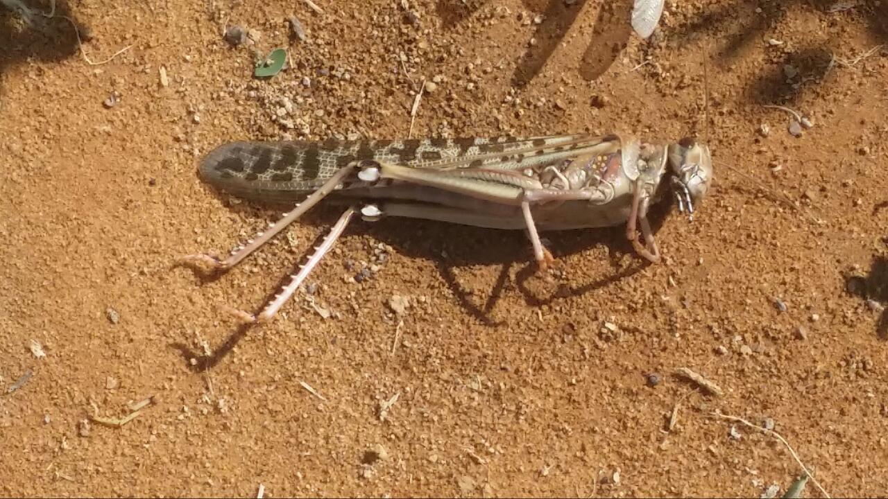 """""""البيئة"""" تواصل مكافحة الجراد الصحراوي في محافظتي الأفلاج والسليل"""