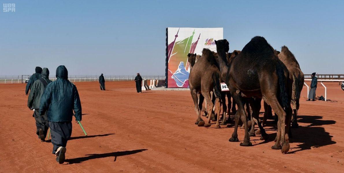 إعلان نتائج فردي الصفر بمهرجان الملك عبدالعزيز للإبل