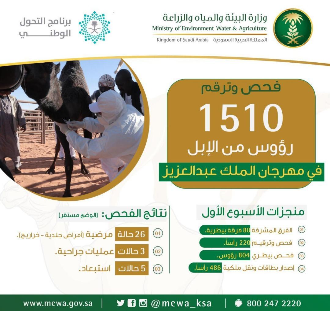 """""""البيئة"""" تفحص وترقم 1500 رأس من الإبل خلال الأسبوع الأول بمهرجان الملك عبدالعزيز"""