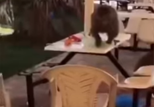 بالفيديو.. قرود جائعة تثير رعب طالبات جامعة بيشة