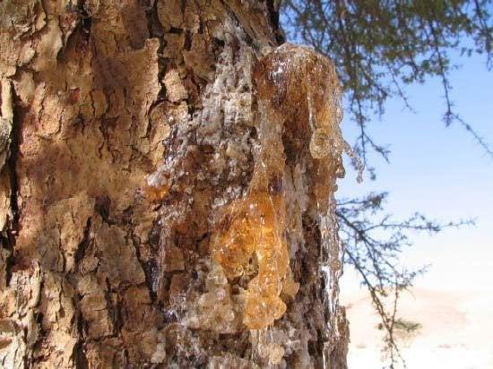 باحثون يعثرون على مخلوقات بحرية في صمغ شجرة