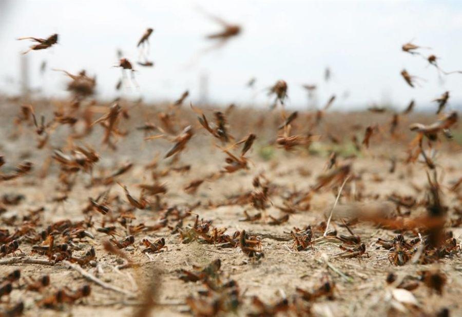 «الفاو» تحذر وتتوقع ازدياد أعداد الجراد الصحراوي في المملكة