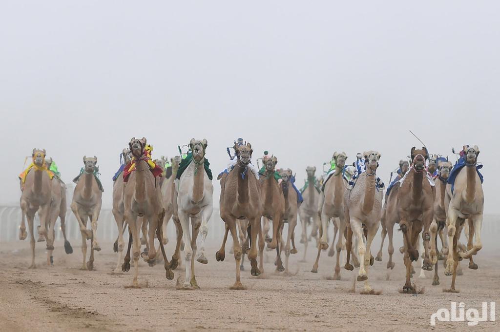 انطلاق الأشواط الدولية والإنتاج والسودانية بمهرجان ولي العهد للهجن